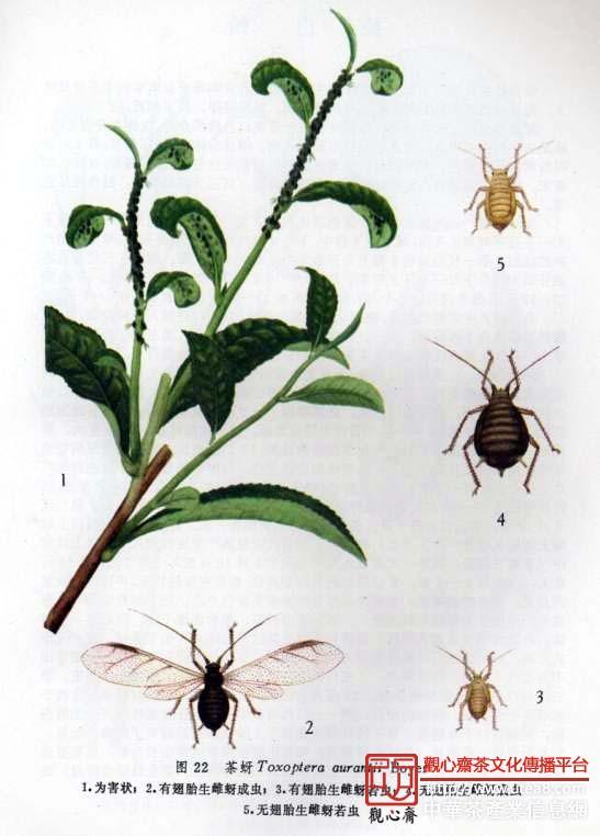 【发生规律】茶蚜在安徽一带茶区一年发生25代以上,以卵在茶树叶背