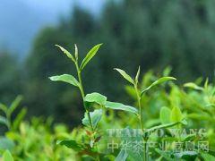 宜昌市茶产业2018年十项工作全面部署