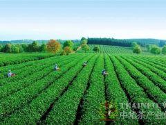 陈宗懋:茶产业转型待破局