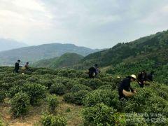 巫山:茶产业助农增收 春茶上市采摘忙