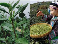 近期连阴雨对我国早春茶叶生产的影响