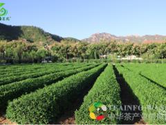 喝崂山绿茶有什么好处?怎么泡才能发挥它的功效?